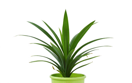 pandan leaves or Pandanus amaryllifolius is a tropical plant in a pot with white background