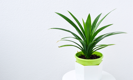 Pandanus amaryllifolius is a tropical plant in a pot with a white wall