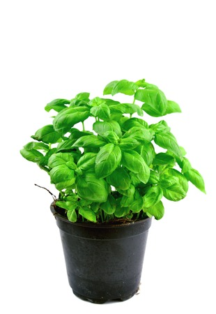 Sweet basil in pot on white background.Growing Basil in your herb garden.