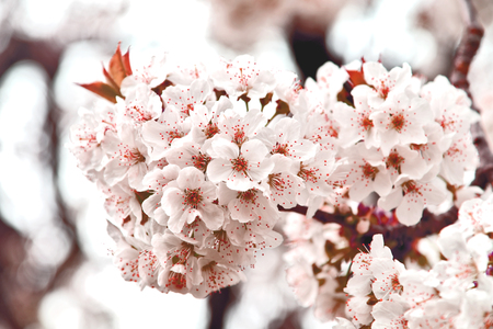 White cheery blossoms on tree with red filter. spring-flowering trees.