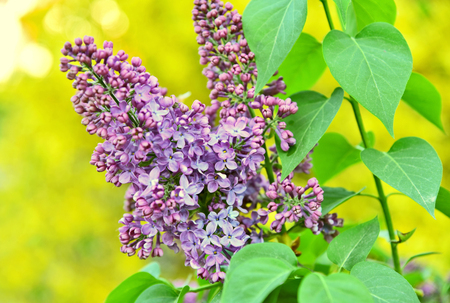 Purple Syringa or Lilac with green heart leaf on yellow bokeh background. 