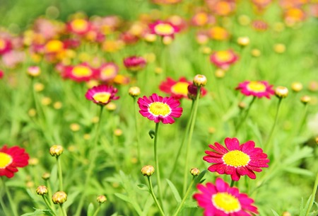 A lot and colorful of pink marguerites or Daisy Carmine Supernova on field with bokeh background Stock Photo