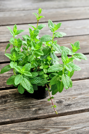 Mint or balm mint in pot on wooden floor.Growing Mint plant in the garden.Fresh Spearmint One of the most popular and invigorating types of tea.