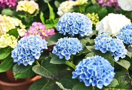 mixed and Colorful of Mophead Hydrangeas in flower shop with full frame. Standard-Bild