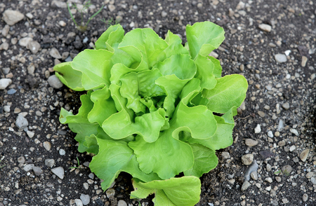 The Benefits of Growing Your Own Butter Lettuce. (Butter lettuce) A leaf with many names.