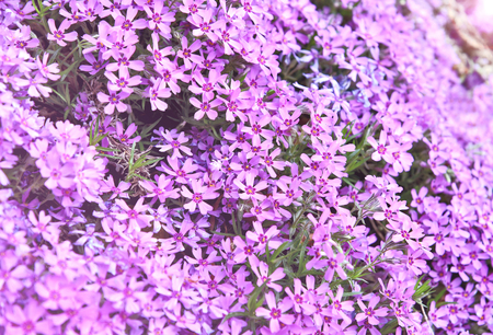 Purple Moss phlox blooms with full frame and lens flare. Purple or violet flower for wallpaper.