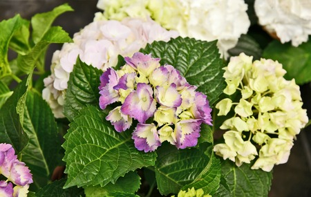 Colorful of Purpleand white Mophead hydrangeas with green leaf
