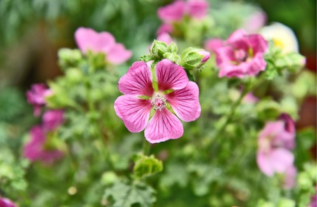 pink cranesbill geraniums with green leaf.