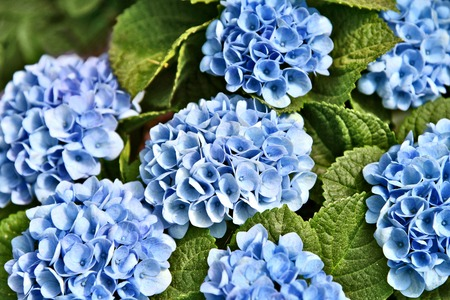 Colorful of Blue Mophead Hydrangeas in flower shop with full frame
