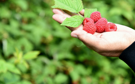 harvest fresh Raspberry with green leaf on hand