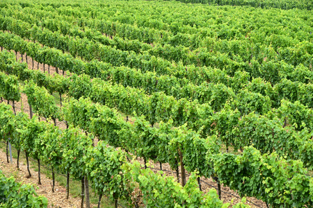 Vineyard Green grape and green leaf at Krems Austria