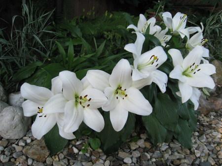 white lily: lirio blanco