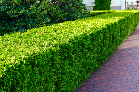 Shaved decorative bush leaving in perspective on a sunny day Stok Fotoğraf - 100679134