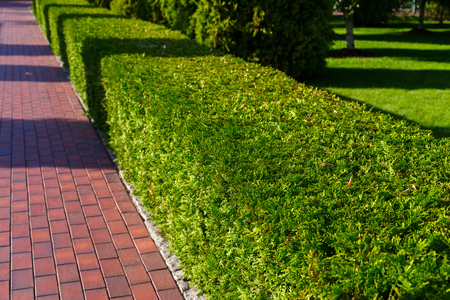 Decorative shorn bush in the form of a wall along a path in a landscape park in summer