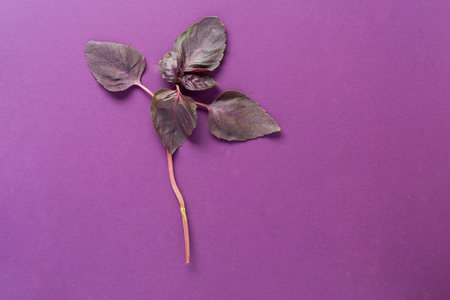 leaf of basil on purple background, close-up