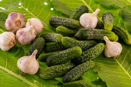 fresh cucumbers and garlic for preservation on horseradish leaves close-up Stock Photo