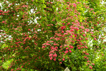 hawthorn on a tree in spring in bloom,tree bush with flowers in spring Archivio Fotografico