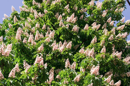 blossoming candles of chestnuts on the crowns of trees in spring