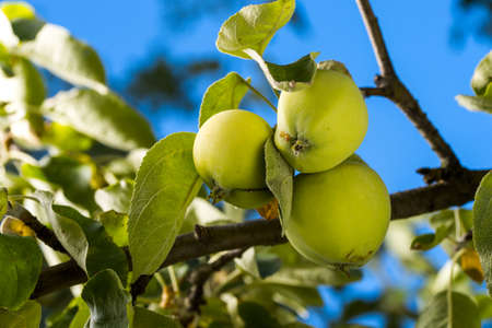 apples on a branch against the sky