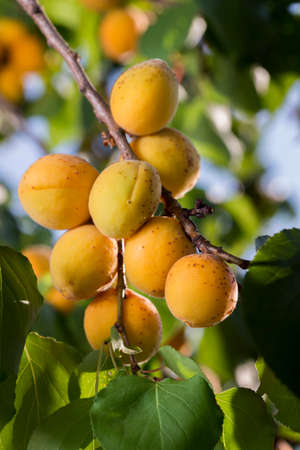 ripe apricots in the shade of a tree