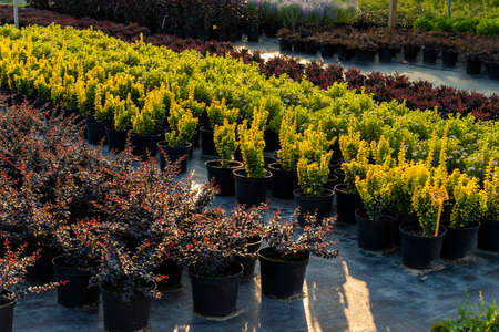 Shrub barberry plants in tubs for planting, multi-colored grown bushes in the garden center Archivio Fotografico