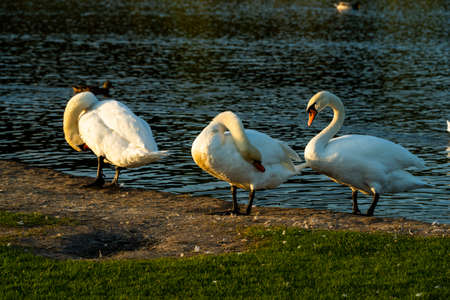 three swans swim in the water, a family of waterfowl swans 写真素材