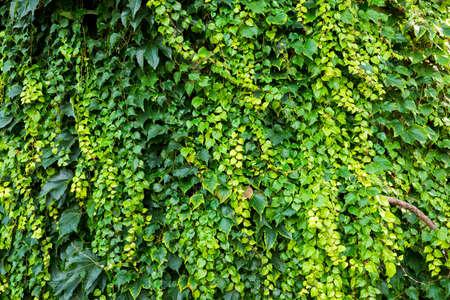 Ivy - evergreen climbing bush Standard-Bild