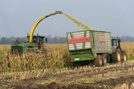 Corn harvest on the field