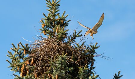 Kestrels fly over your eyrie for hunting in Hamburg, Germany Stockfoto