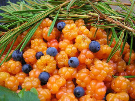 South Karelia, beginning of August, cloudberry with some blueberries.         版權商用圖片
