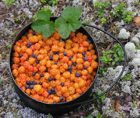 Russia, South Karelia, beginning of August, cloudberry with some blueberries.      版權商用圖片
