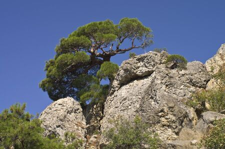 relict: Crimea, relict pine on rock.