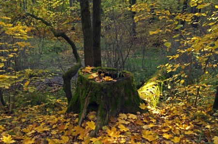 Stump in the autumn forest. photo