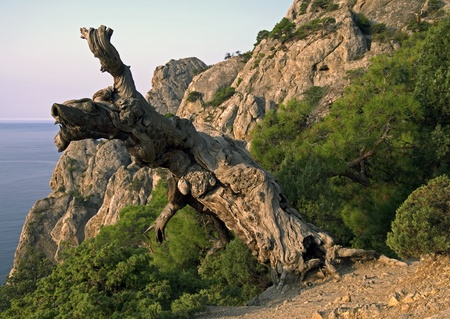 This pine tree in the Crimean Mountains looks like dried. But in fact, this snag is a part of  of a living tree photo