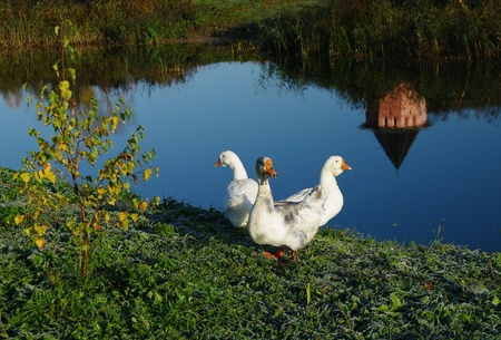 Three white gееse on the river bank. Сlear autumn morning. Photographed in Suzdal, Russia, Golden Ring.  photo
