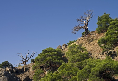 relict: Crimean landscape with dead pine trees.
