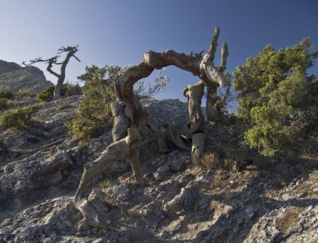 dismal: Dead pine tree in the Crimean mountains.