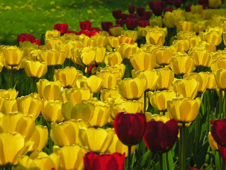 Field of tulips in spring season         photo