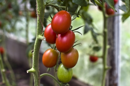 forcing bed: Ripe tomatoes on the bush in the greenhouse