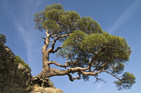 relict: Relict pine tree in the Crimean mountains