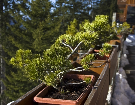 traditionary: A pine tree in bonsai style in the yard a small hotel in the ski resort Stock Photo
