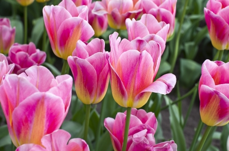 Tulips in the greenhouse in the Keukenhof park, Netherlands  photo