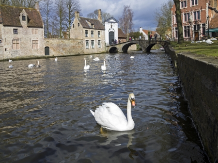 Swans on the canal in Bruges, a popular tourist destination in Belgium  photo