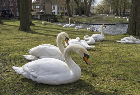blanch: Swans in the park in the historic center of Bruges, Belgium  Stock Photo