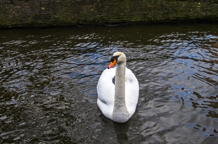 blanch: A white swan standing on a canal