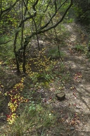 Wild apples on the ground in the Crimean wood  photo