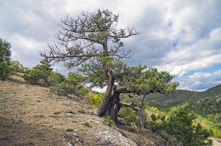 relict: Relict juniper tree in the Crimean mountains