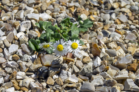 managed: Camomile flower, managed to grow on the rocks