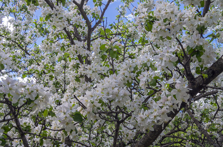 Background formed by white flowers of wild apple  photo