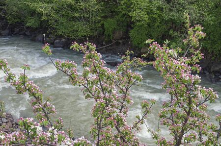 Wild apple blossoms on a background of mountain river  Caucasus  photo